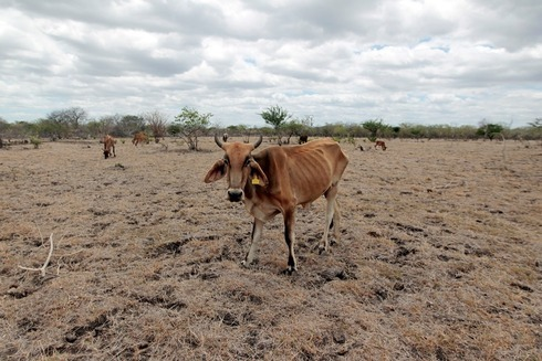 Livestock are dying in dry pastures.